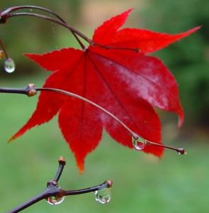 Red Maple Crop